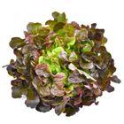Picture of Lettuce - Red Oak