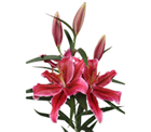 Picture of Lily - Oriental Red Bunch