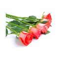 Picture of Rose - 50cm Premium - Assorted Colour